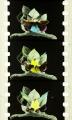 Métamorphoses du papillon (1904)