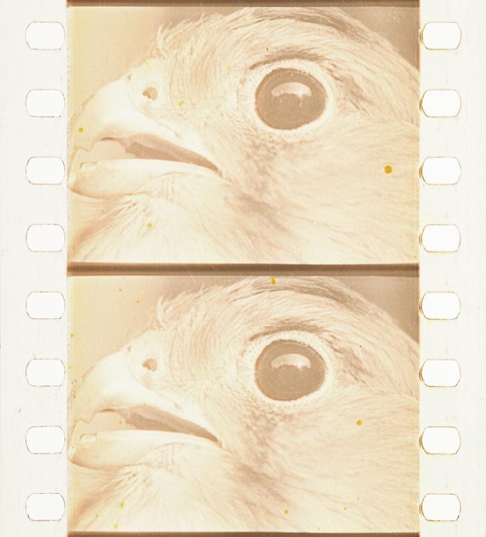 Of Kestrel Film Historical HökfamiljenTimeline Colors Af TFculJ3K1