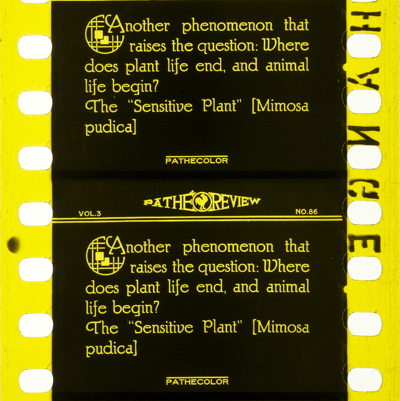 Mimosa | Timeline of Historical Film Colors