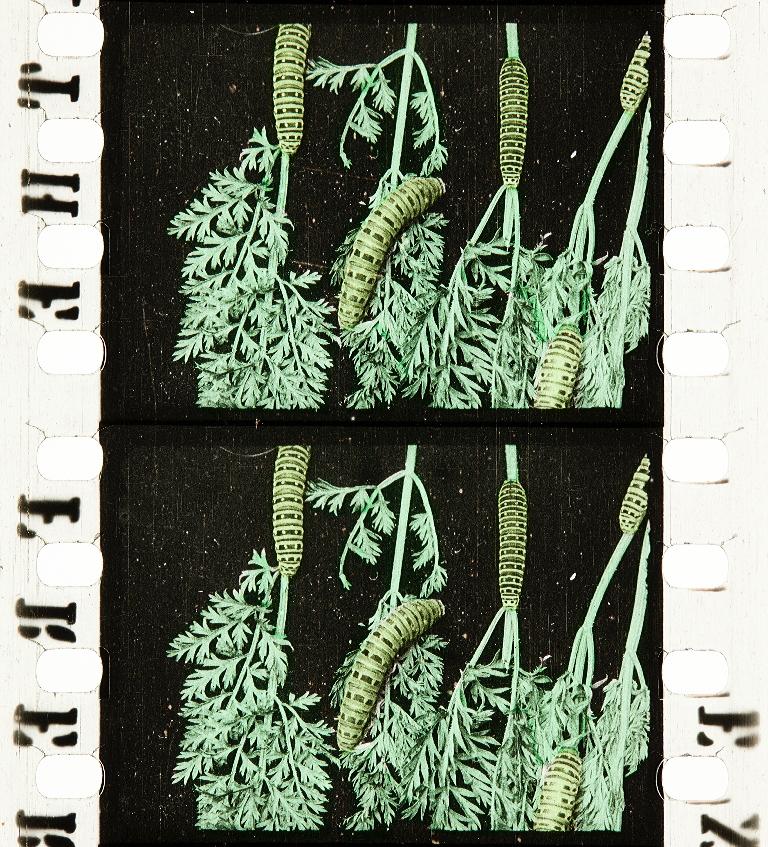 La Chenille de carotte (1911)   Timeline of Historical Film